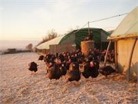 Free Range Kelly Bronze Turkeys at Woolpack Corner Farm