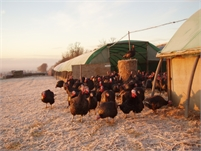Free Range Kelly Bronze Turkeys at Woolpack Corner Farm